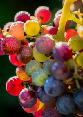 Arc-en-ciel de baies de raisins - Magie de forme